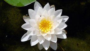 Lotos - symbol osvícení zdroj: Pixabay.com